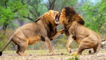 Lion Vs Lion Real Fight - Battle Between Two Lion - Who Is True King Of Jungle