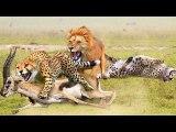 Cheetah Too Weak - Lion Has Won Impala But Still Don't Forgive Poor Cheetah - Animals World