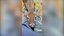 Cette biche vient se coucher sur les genoux d'un visiteur du parc... Trop mignon