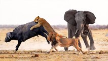 Hero Elephant Save Buffalo From Lion's Hunting - Elephant Vs Lion - Animals Save Another Animals