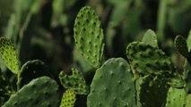 Messico, dal fico d'India una nuova plastica biodegradabile
