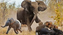 Hero Mother Elephant Save Baby From Lions Hunt - Elephant vs Lion - Animals Save Another Animals