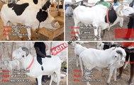 TABASKI: Les plus beaux et les plus chers taureaux de Dakar...