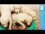 Puppy Love - Labrador Retrievers