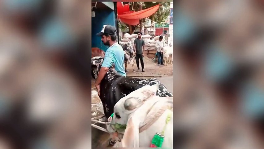 Get your cow wash for Rs100 in Karachi Pakistan