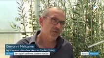 """Italie : un espoir contre la """"lèpre des oliviers"""""""