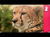 Bindi - Robert Irwin feature - Cheetahs (William) - Growing Up Wild