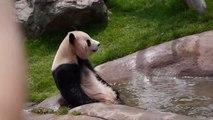 Ce panda va au spa... Petit bain
