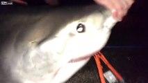 Ces pecheurs attrapent un grand requin blanc par erreur en pleine nuit