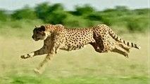 Wild Cats - Ultimate Predators - Full Documentary