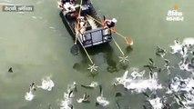 केंटकी की झीलों में नुकसानदेह एशियन कार्प मछलियों की भरमार