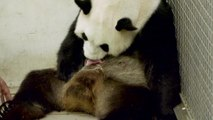 Deux bébés pandas nés à Pairi Daiza