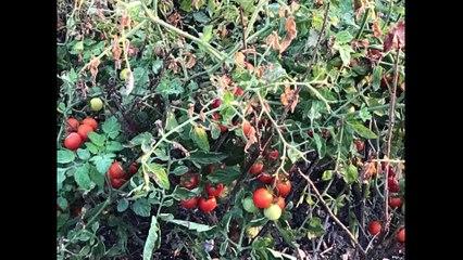 Roland Motte - Les tomates