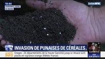Des centaines de milliers de punaises de céréales envahissent les habitations