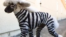 These pets are groomed to look like wild animals