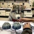 Cette chienne est plus intelligente que la plupart des êtres humains. Regardez !