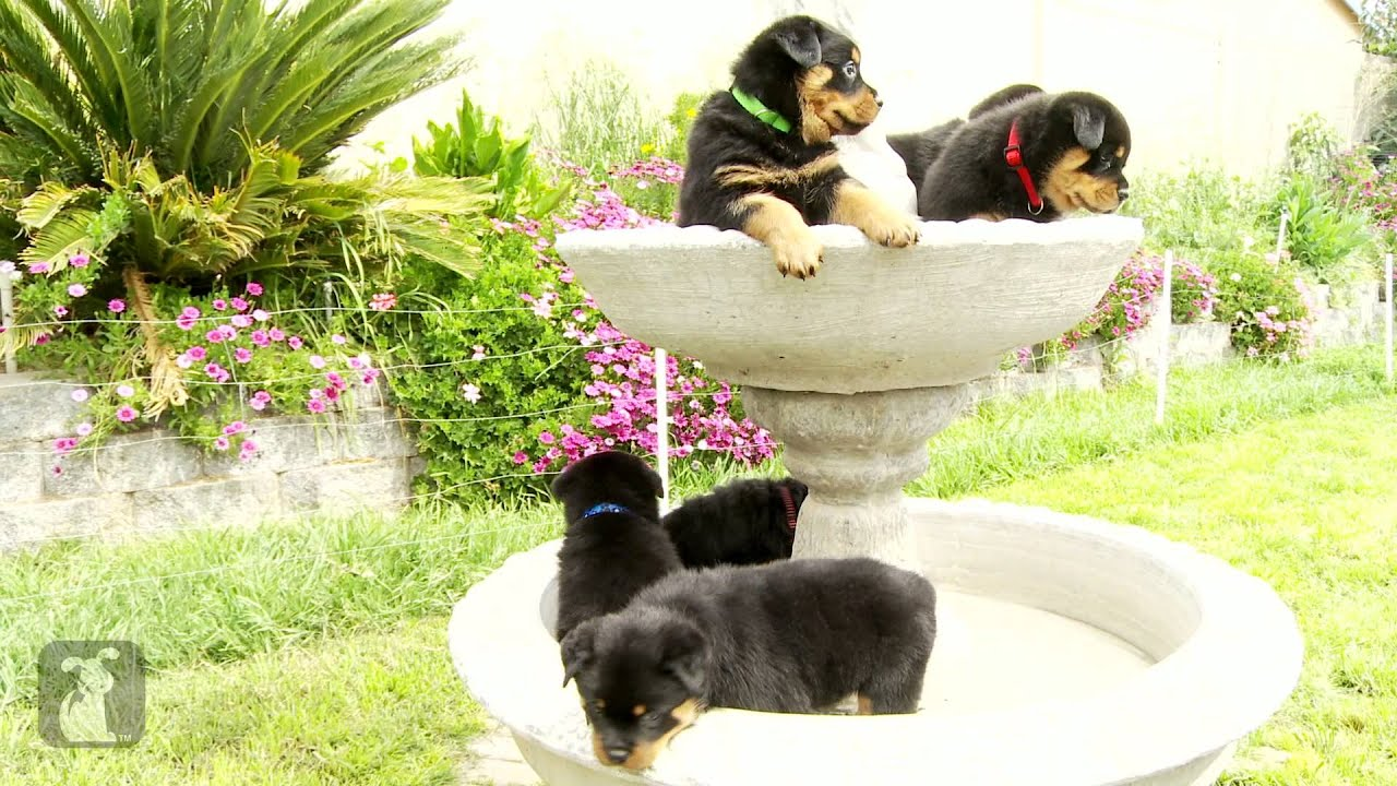 Really Cute Rottweiler Puppies In A Fountain