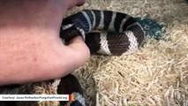 Incredible Video Shows Snake Swallowed Half Of Its Body