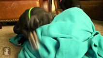 Great Dane Puppies Fighting With A Blanket