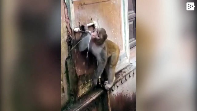 A monkey closes a tap after quenching its thirst