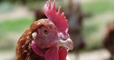 Cet éleveur propose 3 000 poules à l'adoption pour leur éviter l'abattoir