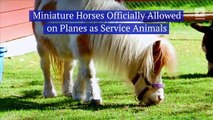 Miniature Horses Officially Allowed on Planes as Service Animals
