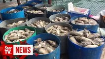 Fish breeders lose RM2mil after mass fish die-off