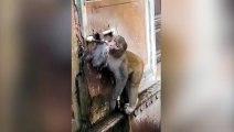 Ce singe fait bien attention à ne pas gaspiller l'eau