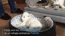 Dos nuevos leones blancos en Francia