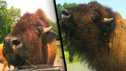 Bison Uses Car With People Inside to Scratch Itch