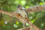 Le singe-araignée : l'acrobate d'Amérique du Sud !