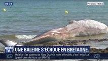 Une baleine de 13 mètres s'échoue sur une plage du Finistère