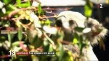 Australie : au secours des koalas