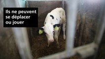 Maltraitance animale: des veaux laitiers exploités dans des conditions déplorables
