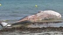 Une baleine de 12 mètres s'est échouée sur une plage de Penmarc'h, dans le Finistère