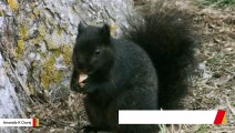 Gray Squirrels Turned Black From Interbreeding: Study