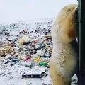 Des ours polaires envahissent une ville russe pour trouver à manger. Regardez !