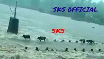 Cattle cows swept away in floods while crossing the bridge over the river as river overflows