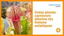 Sarracenia : cette plante carnivore élimine les frelons asiatiques
