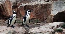 Deux mâles pingouins adoptent un œuf abandonné au zoo de Berlin