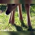 Admirez ce petit faon qui broute dans l'herbe le matin !
