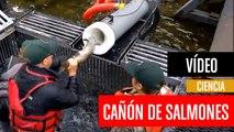 [CH] El cañón que dispara salmones