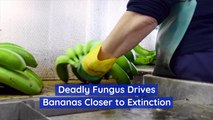 Bananas Are Suffering From A Deadly Fungus