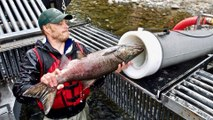 """""""Salmon Cannon"""" Shoots Fish Over Dams - Cool Invention"""