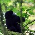 Ce bébé singe s'entraîne à se frapper la poitrine comme son papa. Adorable !