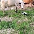 Ce petit cochon qui ressemble beaucoup à un petit veau rencontre un pour la première fois. Observez ce qu'il fait !!
