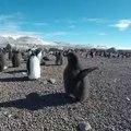 Ce pingouin veut voler à tout prix. A mourir de rire !