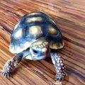 Cette tortue mange une fraise avec beaucoup de délicatesse. Trop chou !