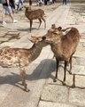 Quand deux cerfs sont amoureux, voici ce que ça donne. Trop mimi !