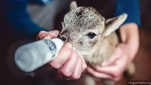 Quand un mignon petit agneau tète au biberon. Émouvant !